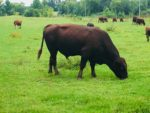 Registered Red Poll herd sire
