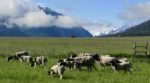 Ewes and lambs on Pasture