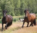 Dales Ponies for the knowledgeable equestrian, horse driver, equine logger, or farmer