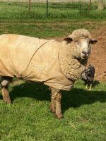 Proven CVM Rams for sale