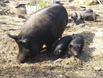 American Guinea Hog breeding stock
