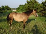 Choctaw Mare for Sale
