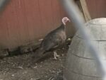 Breeder and show quality Chocolate Turkey's for sale