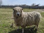 5-year-old ACRA registered ram