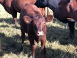 Red Poll Calves