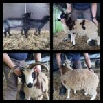 2020 Spring Lambs in Maryland (Jacobs and Lincolns)