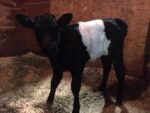 Registered Dutch Belted heifer calves and bulls