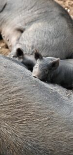 Mulefoot Pigs for Sale!