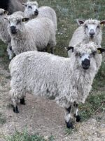 New 2021 ATSA Registerable Lambs available after weaning.